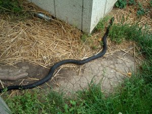 black snake at the barn