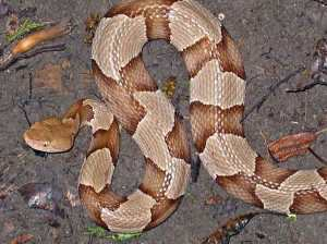 copperhead close up and personal