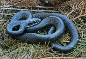 black racer hidding in the grass