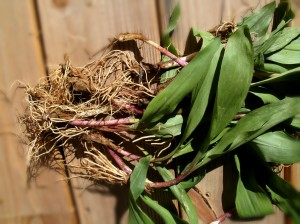 Ramps ready to clean look like green onions