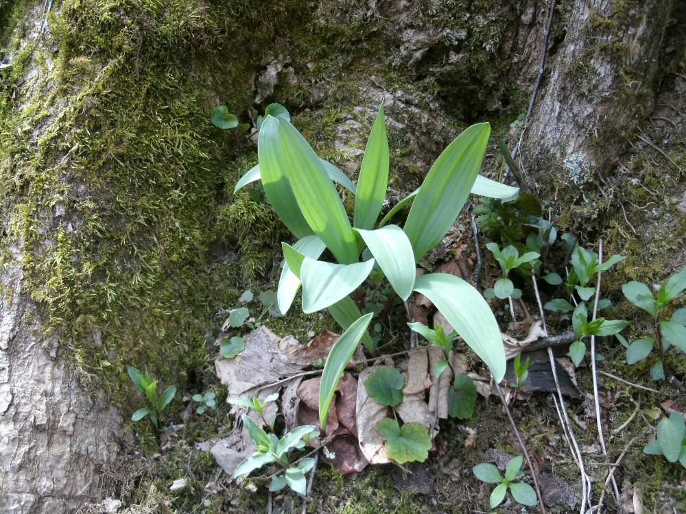 Ramps(wild Leeks) a West Virginia Tradtional Wild Food (2/6)