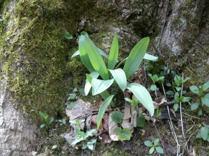 Wild ramps under a tree