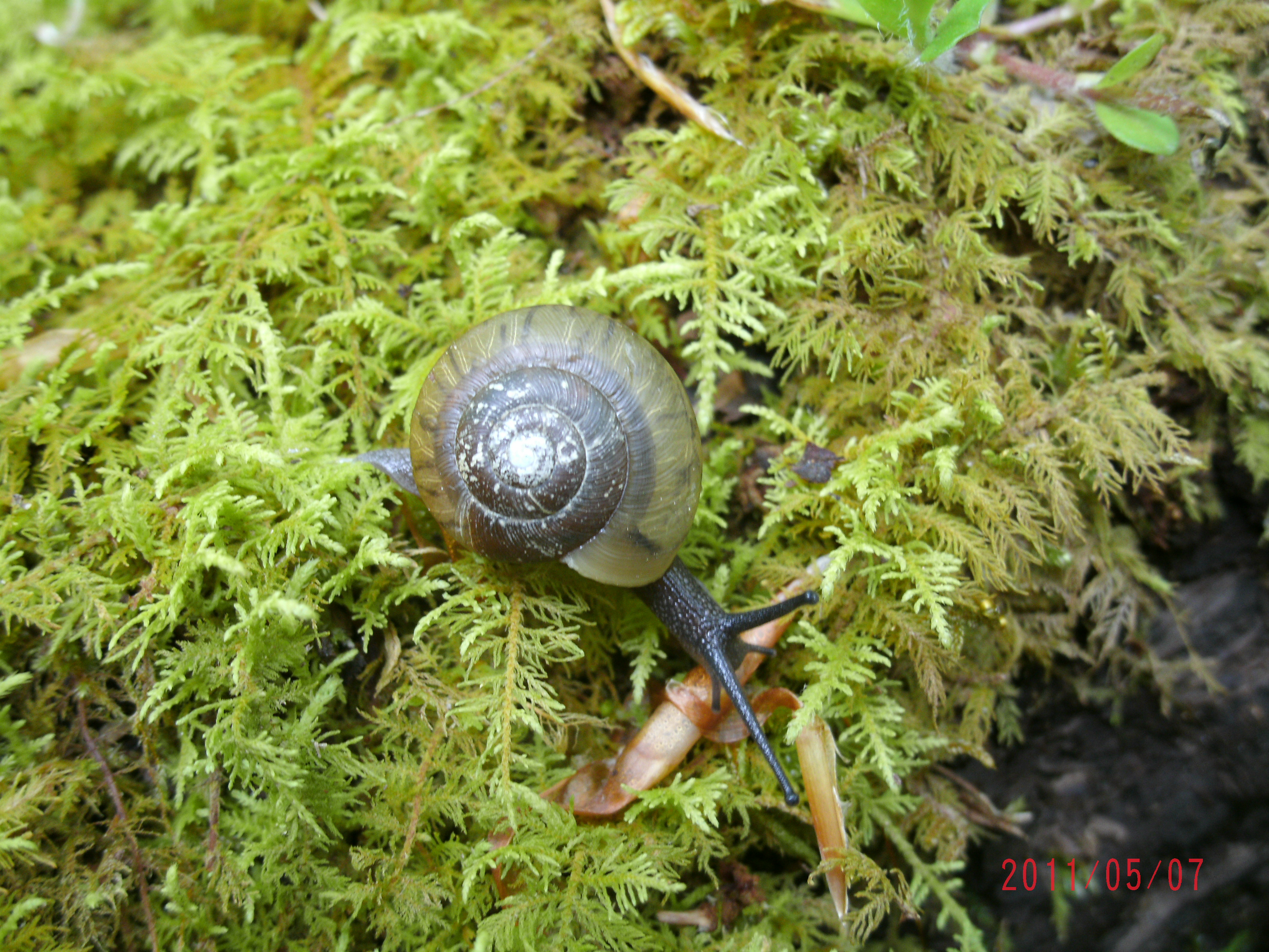 Snail on river moss, cleveland, WV