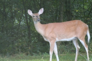 White tail Doe looking at Christopher