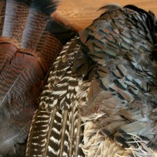beautiful feathers from wild turkey