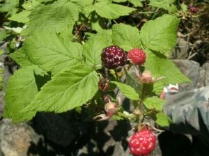 wild black berries around camp ground