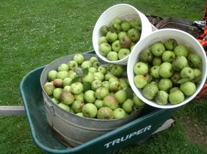 60 lbs of apples ready to use