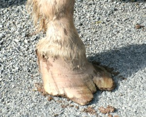 horse hoof in need of repair and trimming