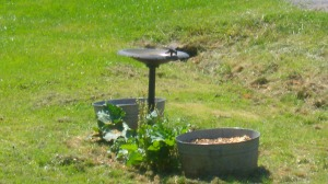small container and bird bath garden...tomatos, rubbarb, peppers, carrots and beets