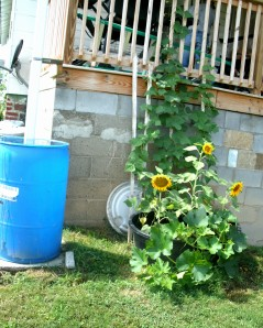 beans sunflowers and squash next to our rain barrel