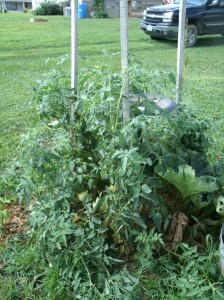Tomato plants taking over my bird bath. rubbarb growing in back