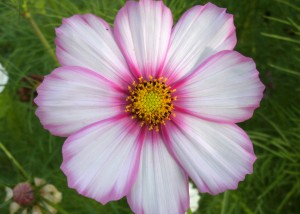 singel cosmos bloom