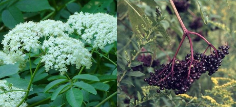 Elderberry flowers in spring and summer fruit