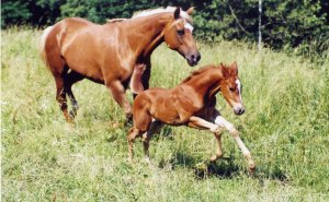 "Quarter horse mare and foal... my baby ""Dancer"""