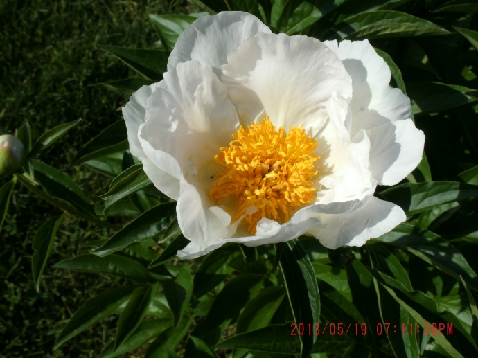 white Peony at the Stoneley Farm