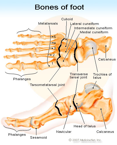 bones of the foot showing the side view of the