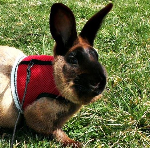 Happy Easter from Diesel the Sable Bunny