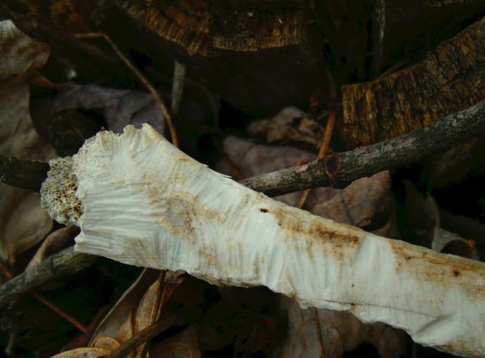 bone with chipmunk teeth marks