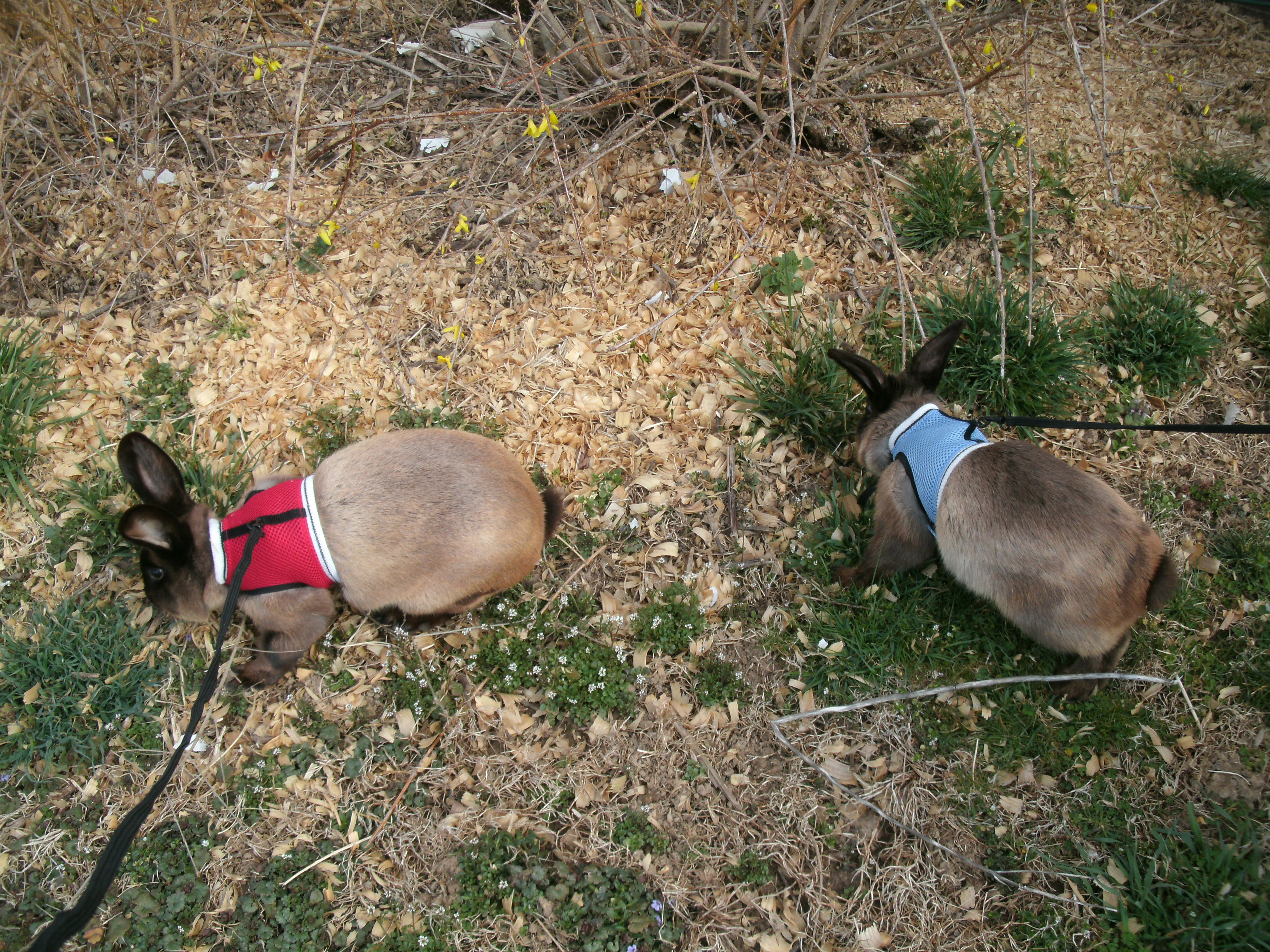 walking rabbits on leashes