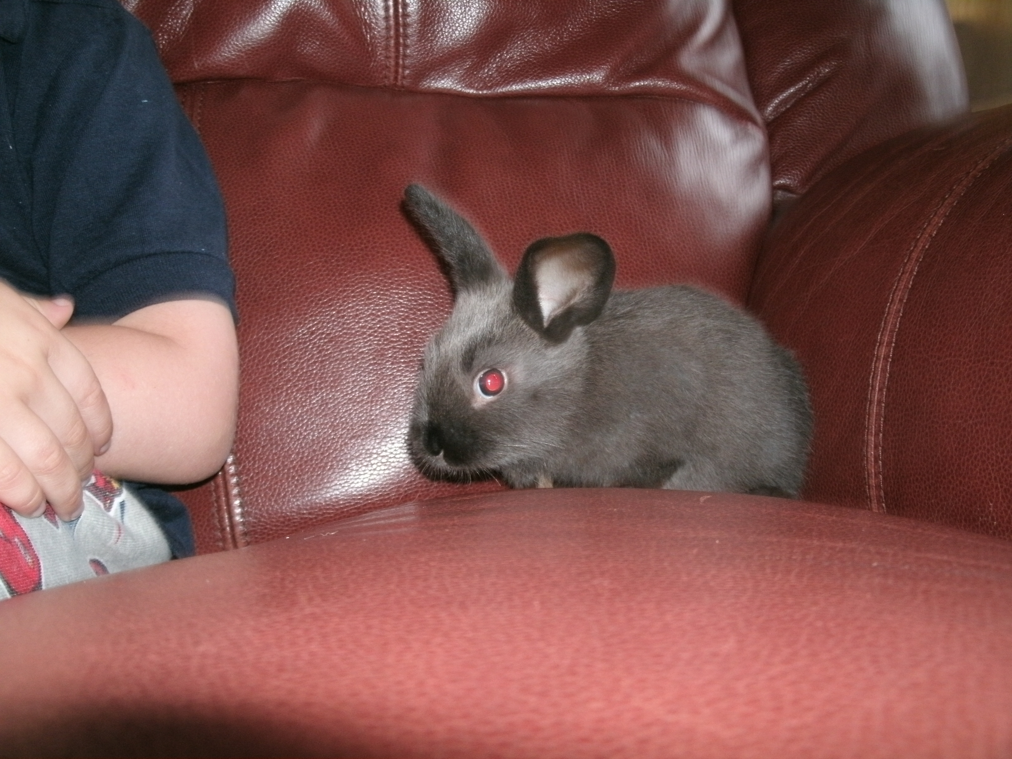 Sable rabbit Ratchet as a baby