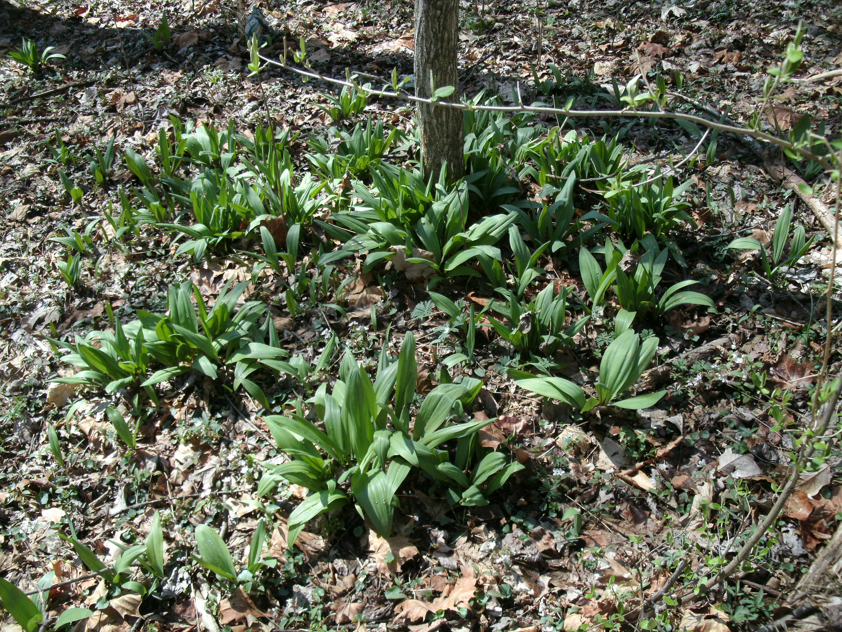 Field of wild growing Ramps