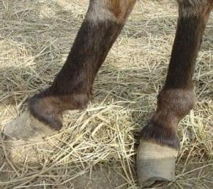 Front Feet of apple jack