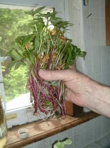 Sweet Potato slips ready to plant