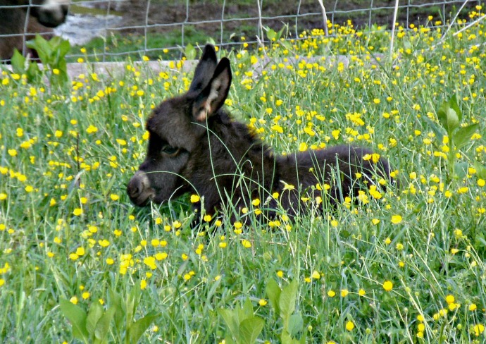 Black mini Donkey 6 days old in the weeds