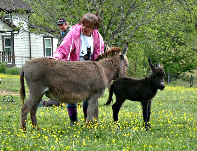 Vicky with her newest Jumping mini Donkey Levi... his dad is a Champion Coon Jumper