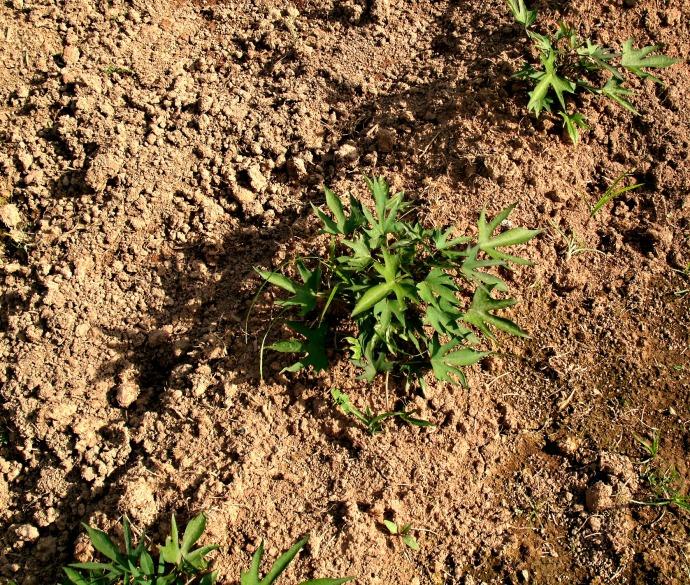 young sweet potato plants