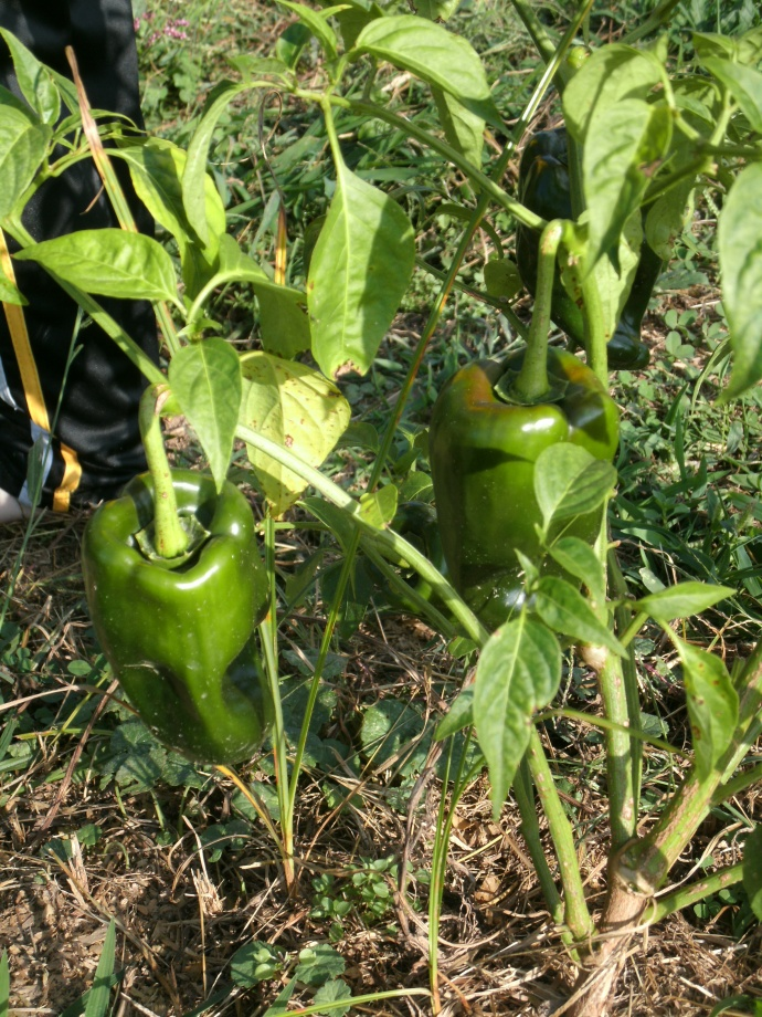 Pablano chili in the garden
