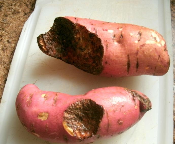 Mole damaged sweet potatoes 2014