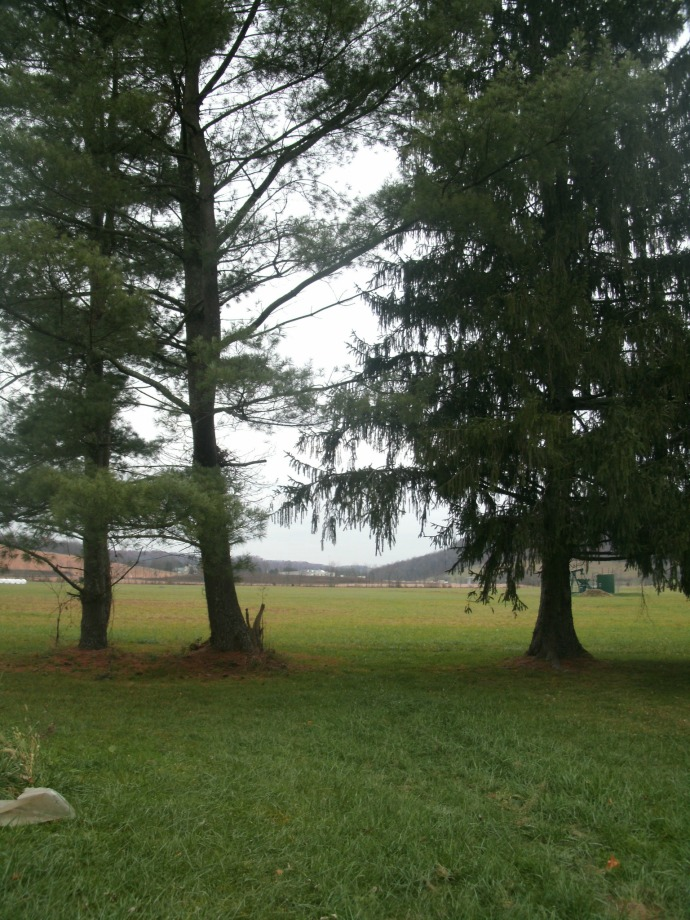 veiw of pine trees at the property line and old air field in back ground