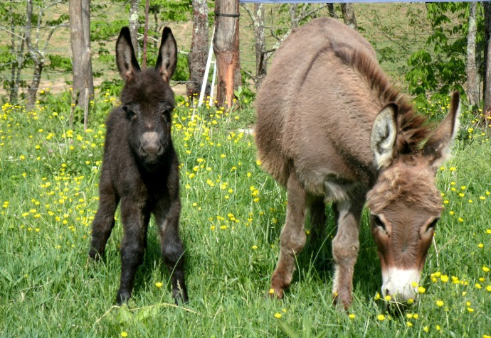 Mini Donkeys in Ireland, west Virginia