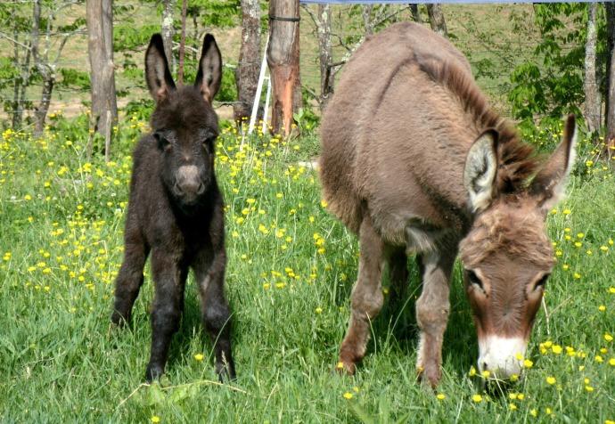 Mini Donkeys in Ireland, west Virginia