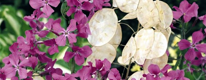 money plant, lunaria