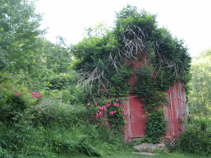 Vine covered shed with wild roses in Middleburn, West Virginia
