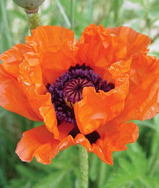 large orange poppy. thanks to the burpee catalog