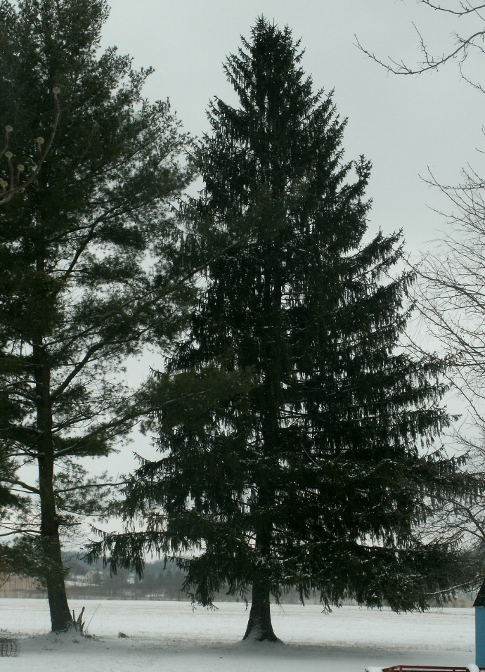 Snowy Pine tree in the back yard