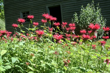 Bee Balm outside of cabin