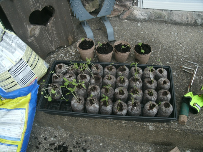 36 seed plugs ready for transplanting... lost a few  seedlings to our new cat.