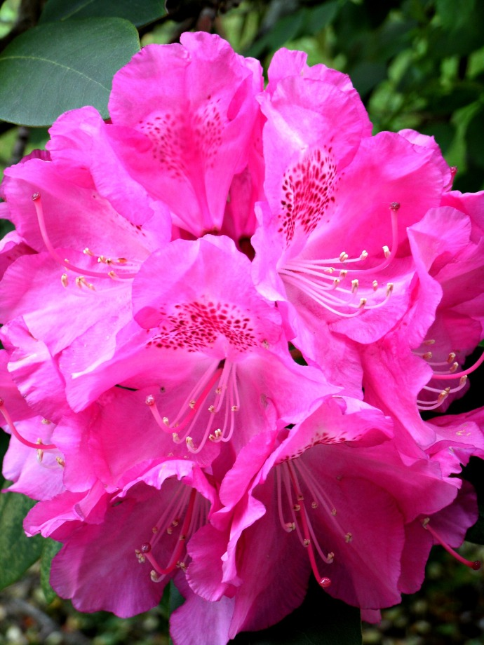 close up of a fresh Rhododendron bloom