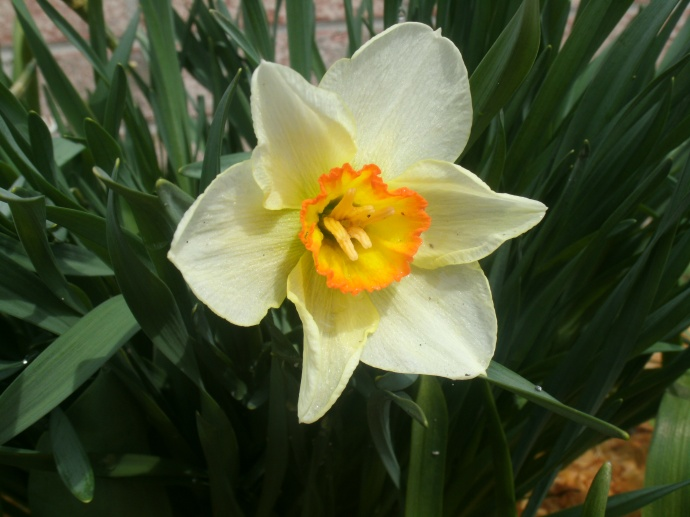 The first bloom of spring at the new house