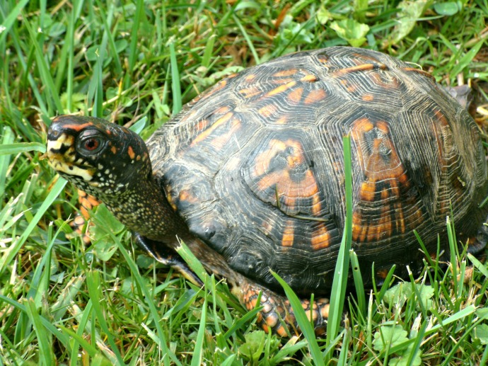Red Eyed Box turtle walking across the back yard