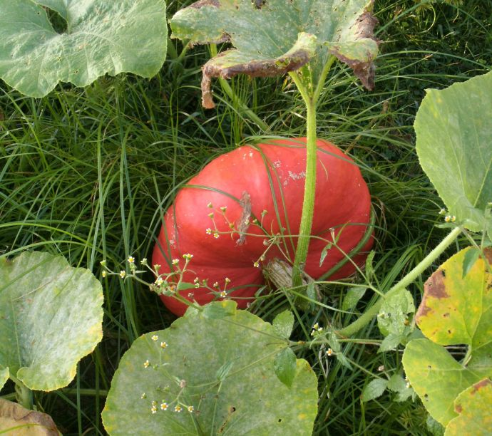 Cinderella garden pumpkin