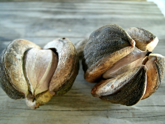 Hickory Nuts with shell