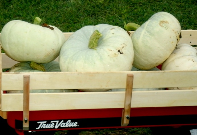 Wagon full of sliver moon pumpkins 2014