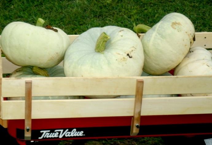 Wagon full of sliver moon pumpkins 2014