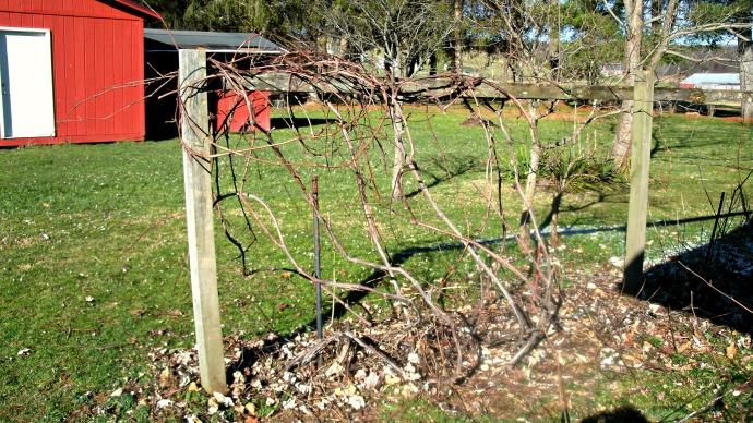 Pruned concord grapevine