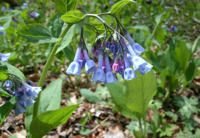 Spring wild blue bells at Hacker Valley, West Virginia